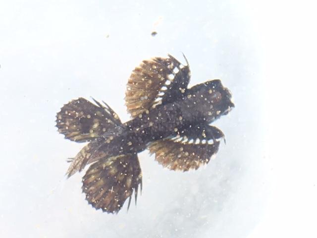 アニラオのトビウオ稚魚