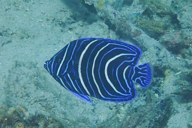 アニラオのタテジマキンチャクダイ幼魚