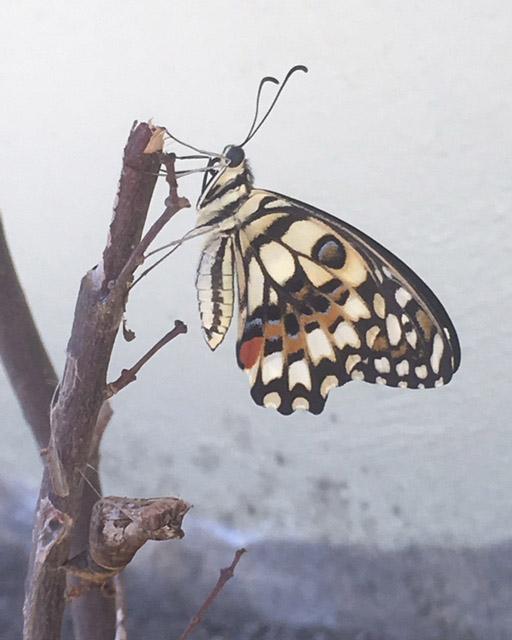 フィリピンの蝶