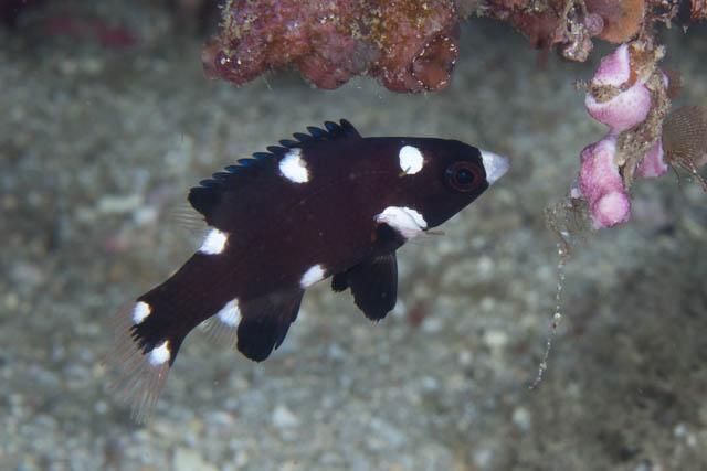 アニラオのスミツキベラ幼魚