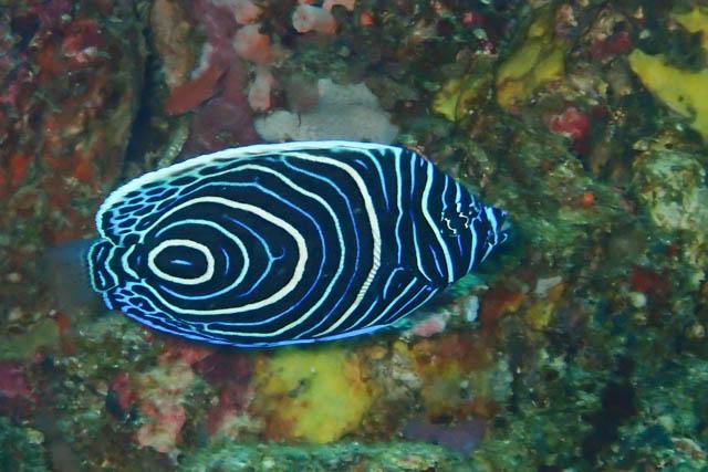 アニラオタテキン幼魚