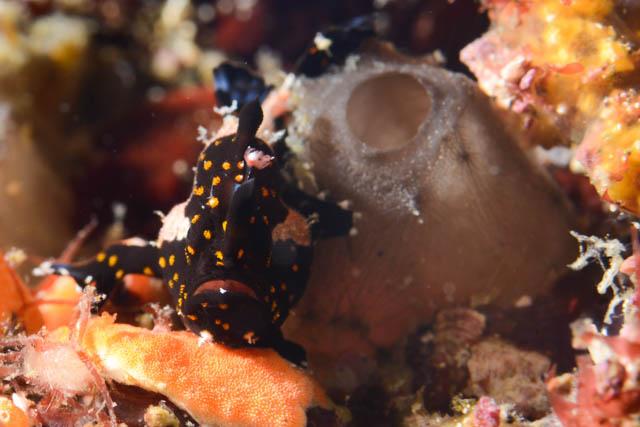 アニラオのイロカエルアンコウ幼魚