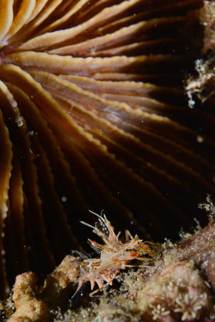 アニラオのトゲツノメエビ
