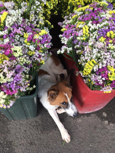 171222flowerdog