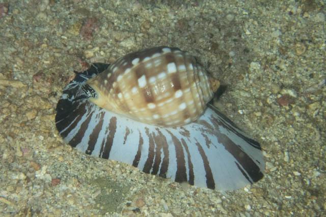 アニラオの巻き貝