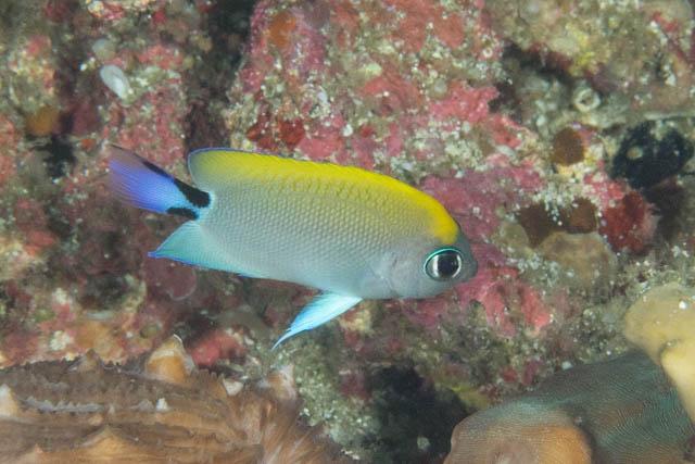 ヤイトヤッコ幼魚