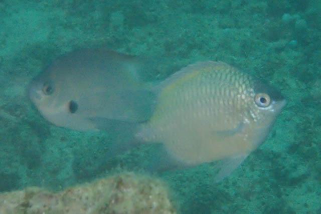 プエルトガレラニセクラカオスズメ