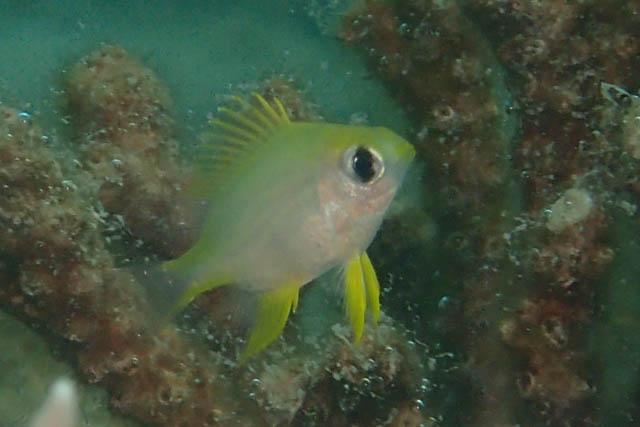 プエルトガレラニセクラカオスズメ幼魚