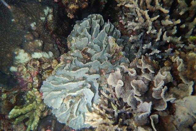 アニラオサンゴの産卵