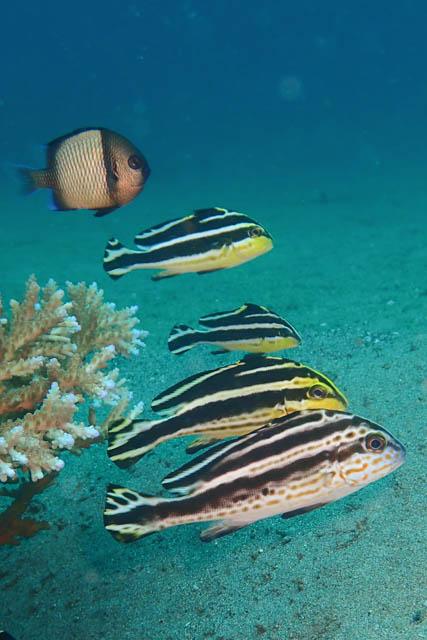 コロダイ鯉のぼり風