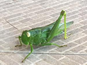 180929grasshopper
