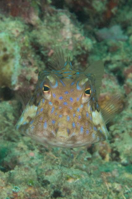 アニラオのシマウミスズメ