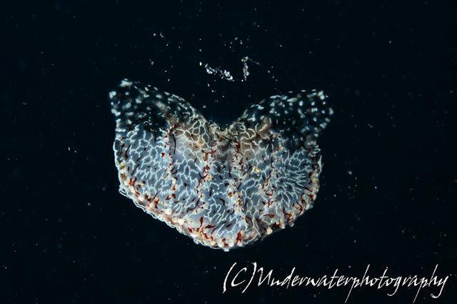 アニラオのクラゲムシ