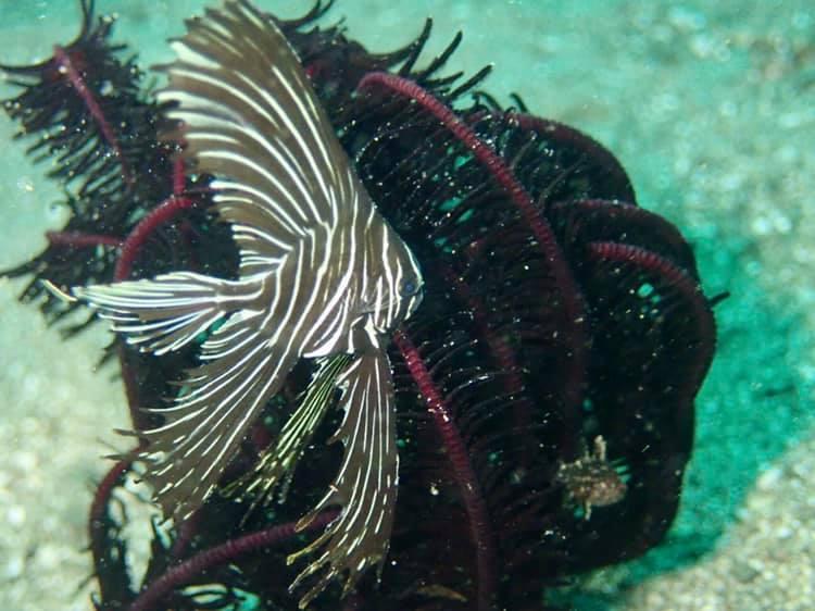 アニラオゼブラバットフィッシュ幼魚