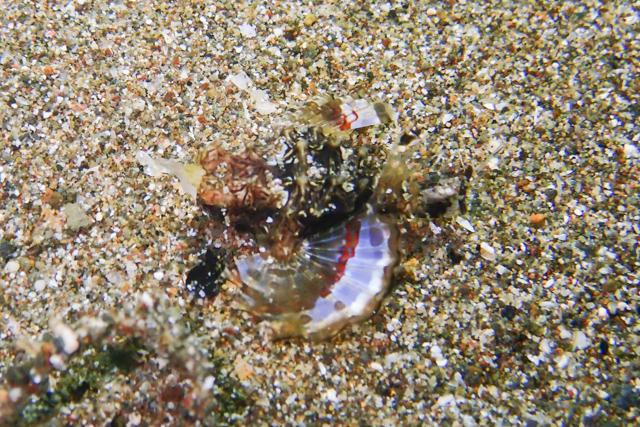 アニラオのウミテング幼魚