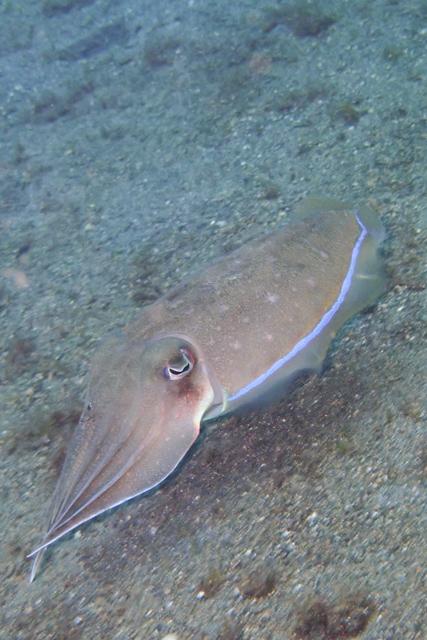 アニラオコブシメ