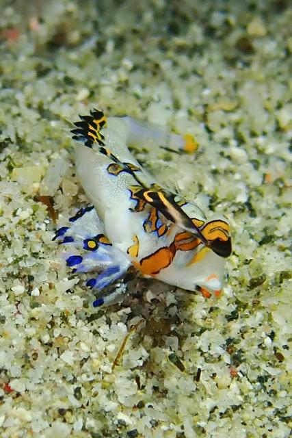 アニラオイッポンテグリ幼魚