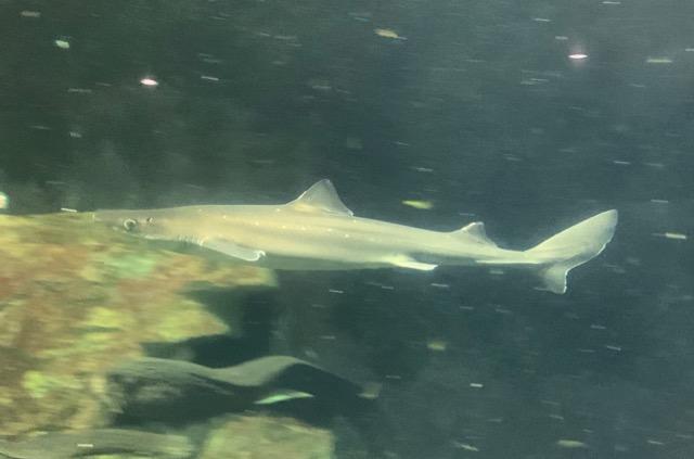 おたる水族館アブラツノザメ