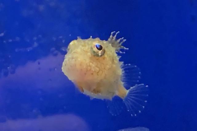 おたる水族館フウセンウオ