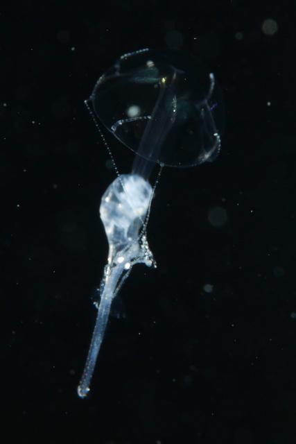 アニラオの浮遊系ナイトダイブ