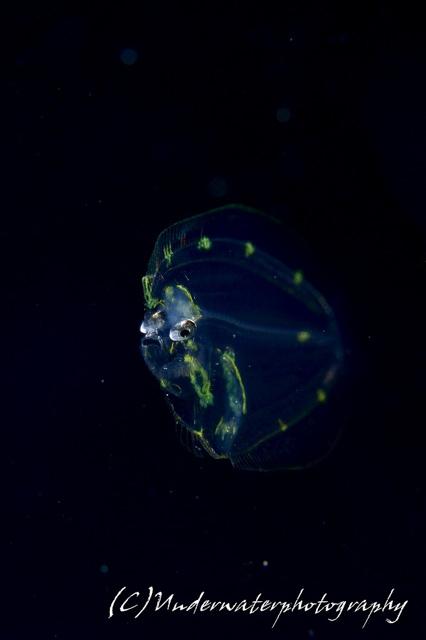 アニラオ浮遊系ナイト