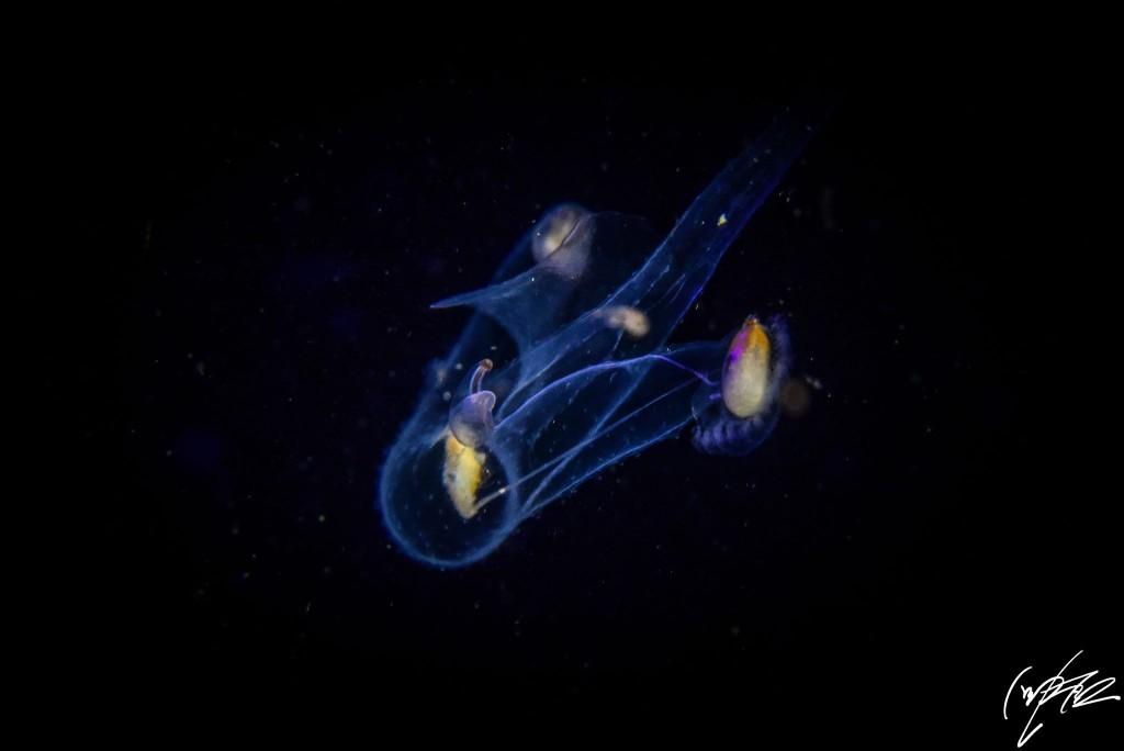 アニラオ浮遊系ナイトダイブ