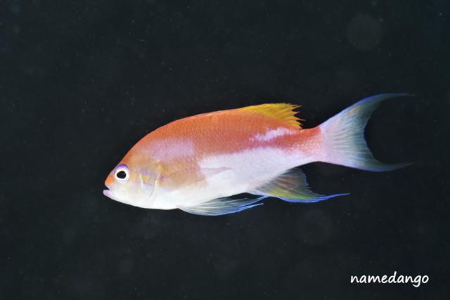 アニラオフトモイハナダイオス