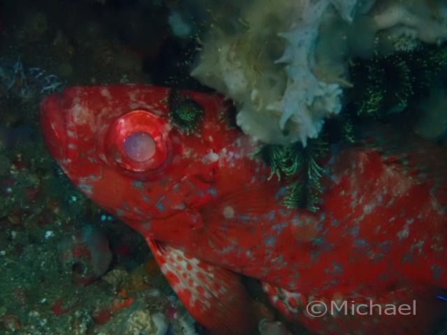 ホウセキキントキ:2020年3月7日撮影。まさかこの後コロナロックダウンで数ヶ月ダイビングができなくなるとはつゆ思わず。深海魚のキンメダイか?と思って慌てて撮った記憶が。キンメの煮付け、日本の味が恋しいなぁ。