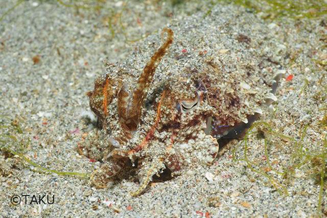 コブシメ:砂をかぶってカムフラージュしつつも、威嚇のポーズは触手を上に持ち上げるのです。アチョー。