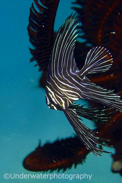ゼブラバットフィッシュ幼魚:アニラオでのシーズンは10〜12月。昔は遠くまでよく探しに行きました。