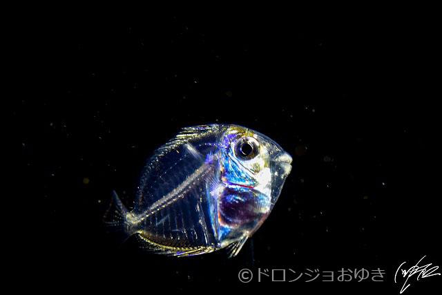 ハギの仲間の稚魚:顔の部分がものすごく反射するので、露出に注意。
