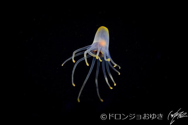 浮遊イソギンチャク:こういう形で漂っていると、クラゲとイソギンチャクは似たもの同士の刺胞動物。