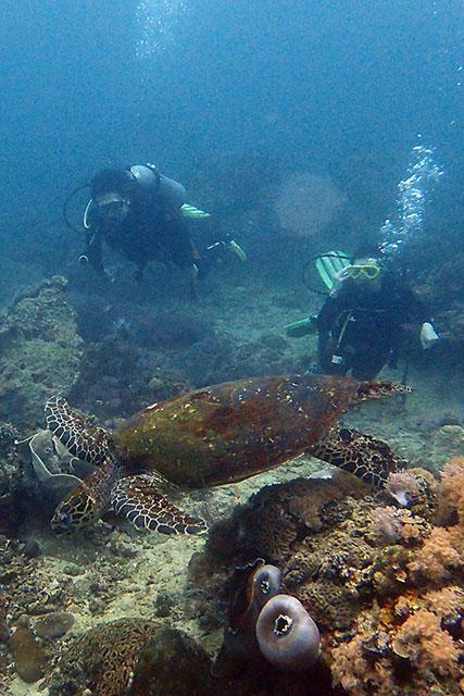 アニラオでウミガメ