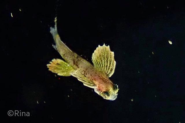 トビウオyg:水面の流れ藻についていることの多い子。水中で出会うと、上下左右から襲われてしまわないか心配になってしまいます。