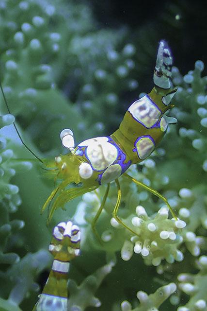 アニラオのイソギンチャクモエビ