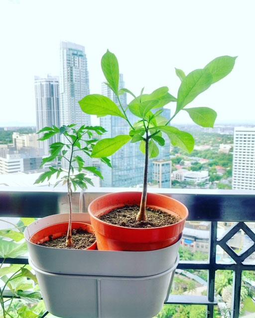 バオバブ鉢植え